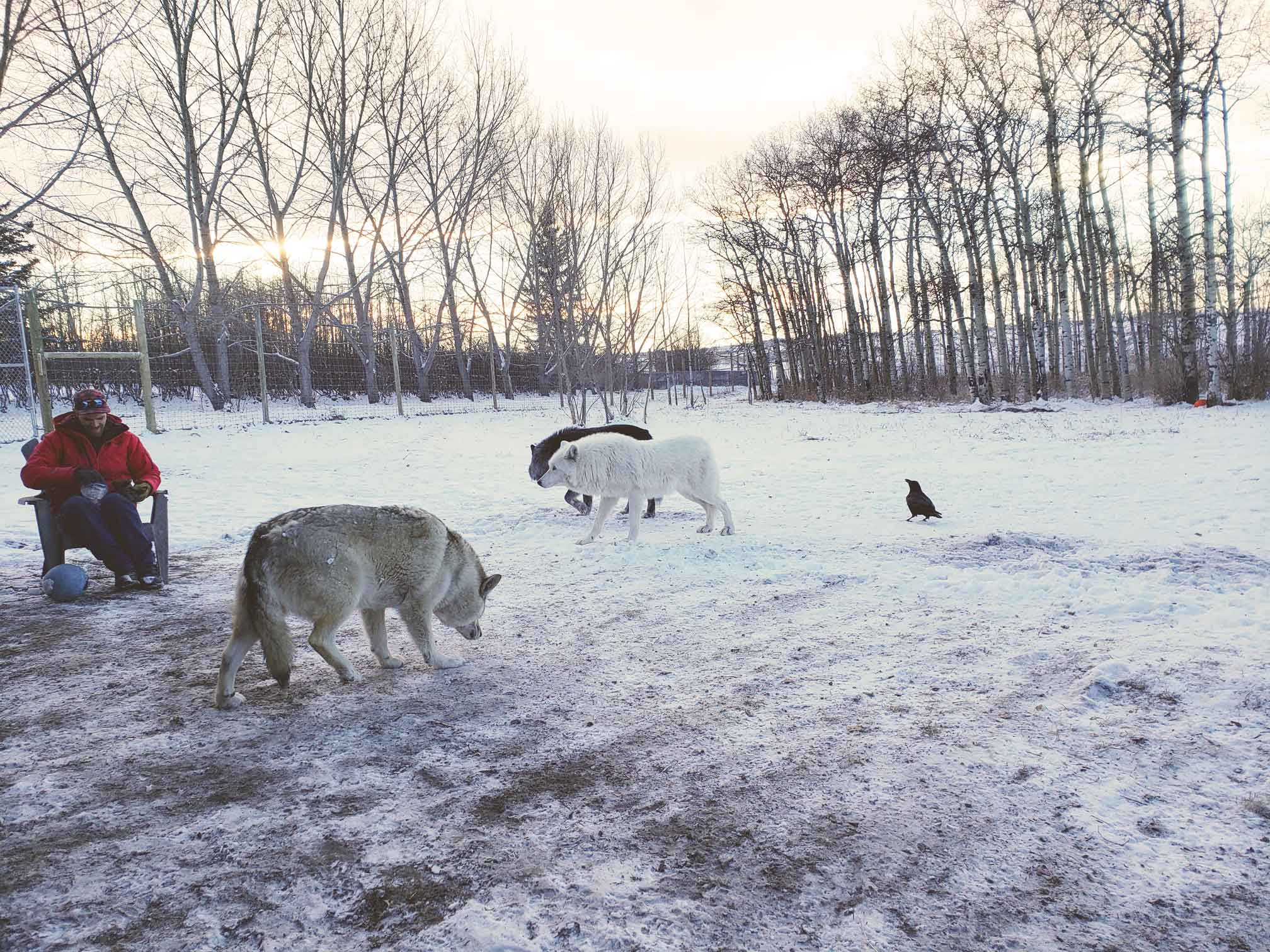High-content wolfdogs