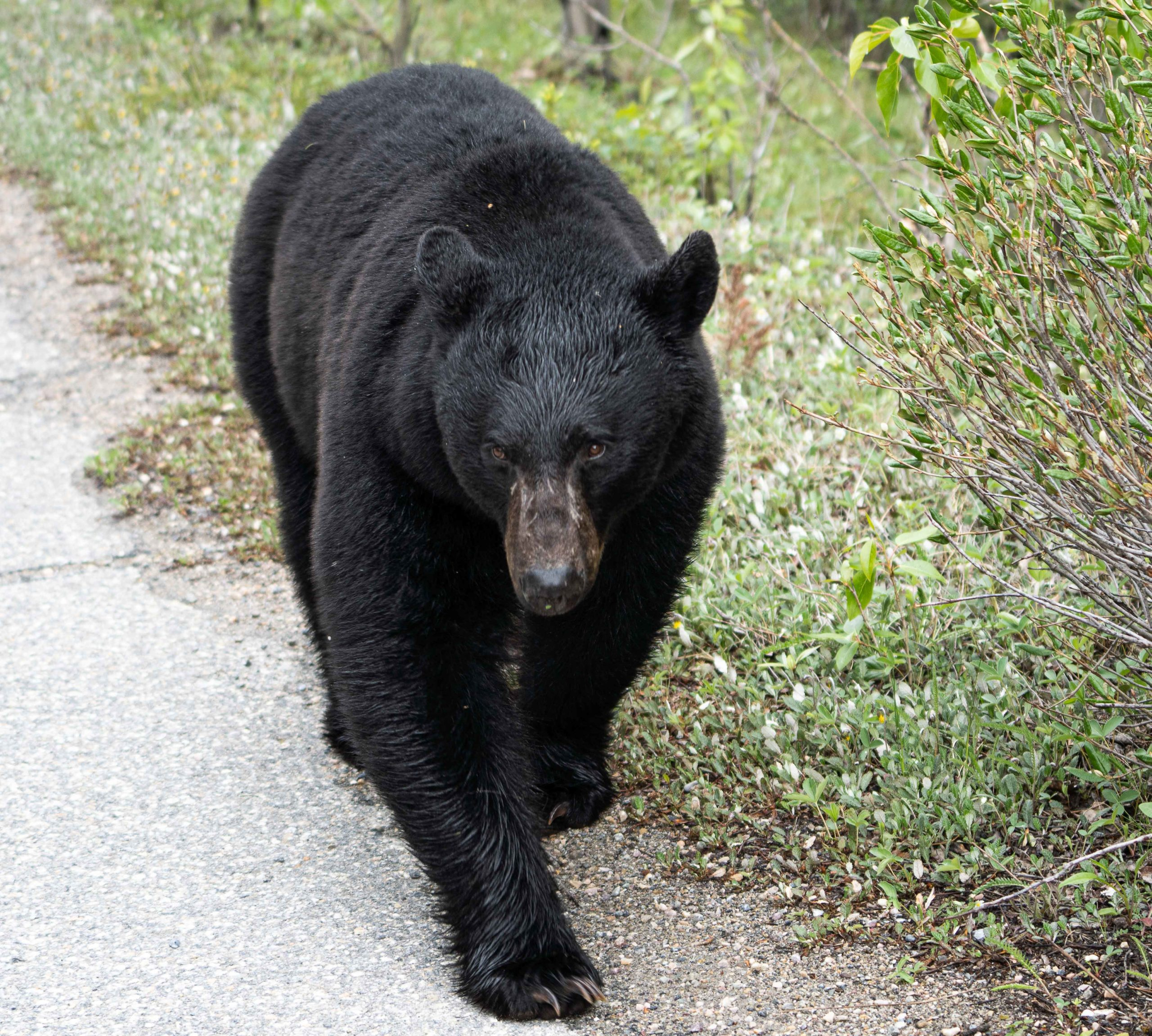 Bear walking by the road by Jack Hawkins