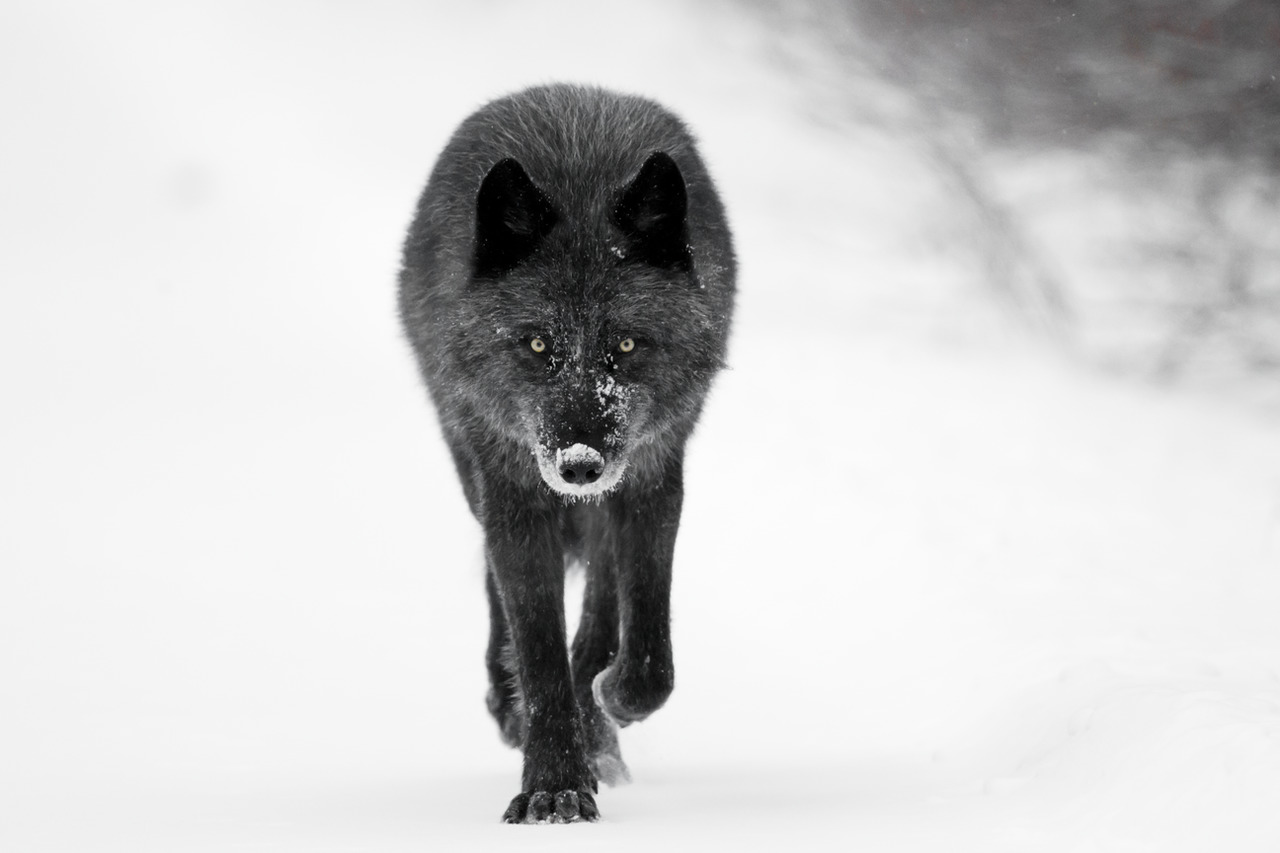 A black wolf walks directly towards the camera in the Canadian Rockies