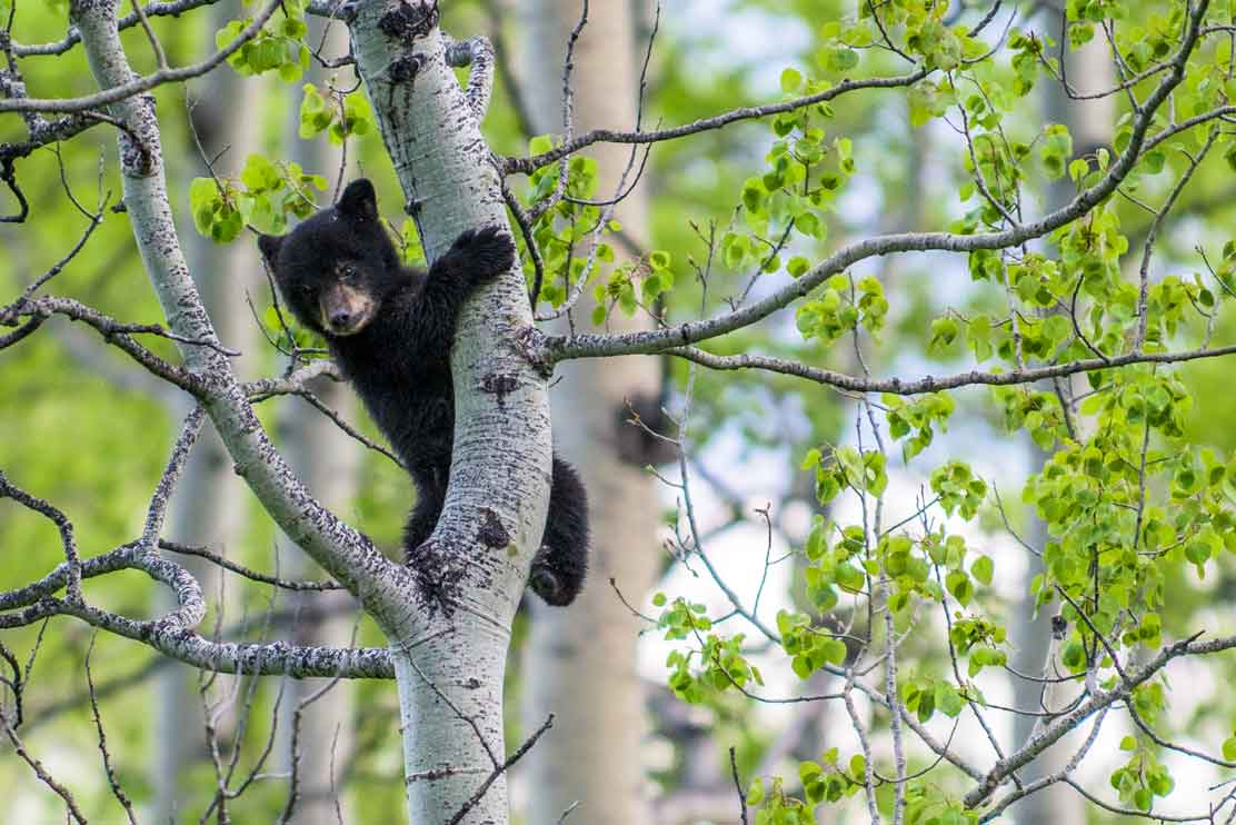 A bear cub in a tree in spring